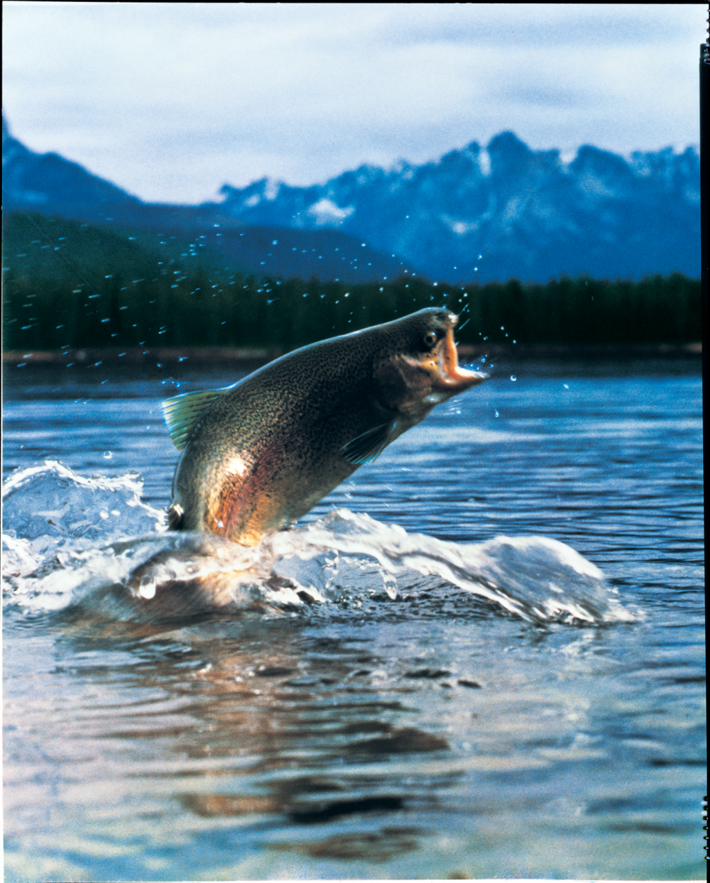 photo of a rainbow trout leaping into the air from a mountain lake