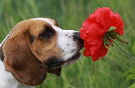 Dog_sniffing_flower