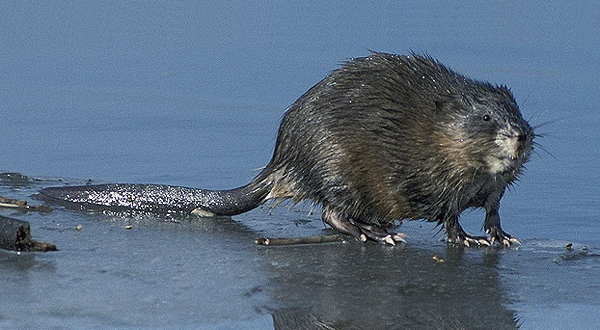 photo of a wet muskrat